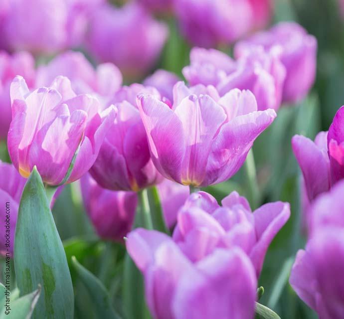 sanivita themenwelten widget tulpen ostern