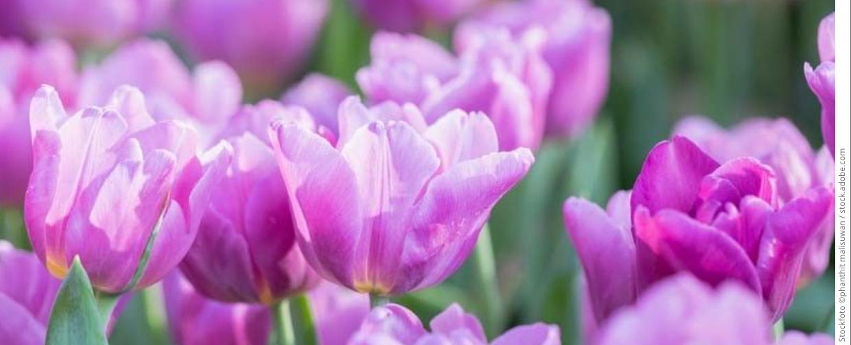 tulpen 1240x504 copyright