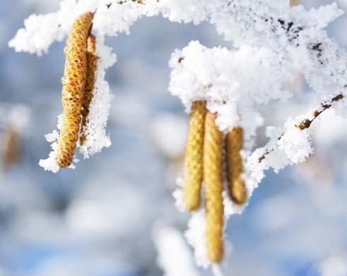 Haselstrauchblüten im Schnee